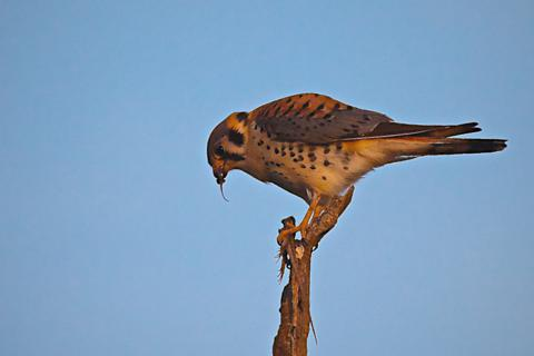 A Male American Kestrel Enjoys a Raw Lizard for Dinner
