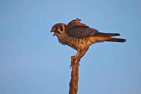 The Kestrel Calls