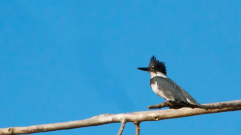 A Belted Kingfisher Takes a Rare Rest