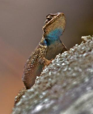 This Lizard Has a Blue Throat