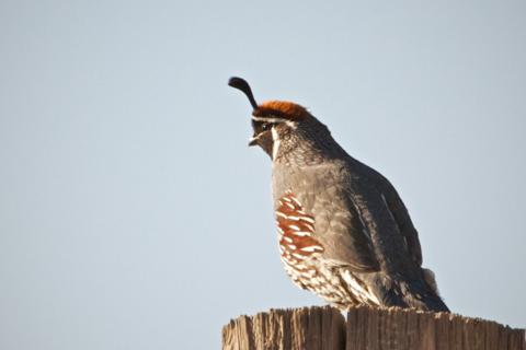 We Easily Recognized this Gambel's Quail by its Top Hat