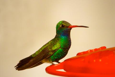 A Male Broad-billed Hummingbird at a Feeder