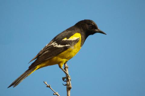 A Male Scott's Oriole