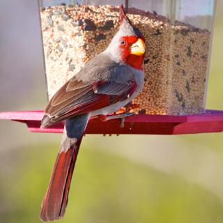 A Male Pyrrhuloxia at a Bird Feeder