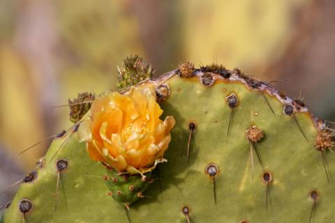 Nopal Cactus in Bloom