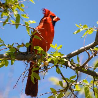 The Brilliant Red of this Male Northern Cardinal Contrasts with the Blue Sky
