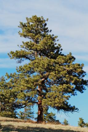 One Big Ponderosa Pine Tree