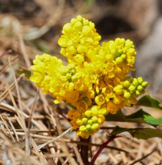 Oregon-grape is Already in Bloom