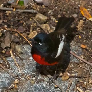 A Painted Redstart Near its Nest by the Carrie Nation Trail