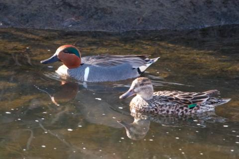 The Female Teal Shows Us Her Green Wing