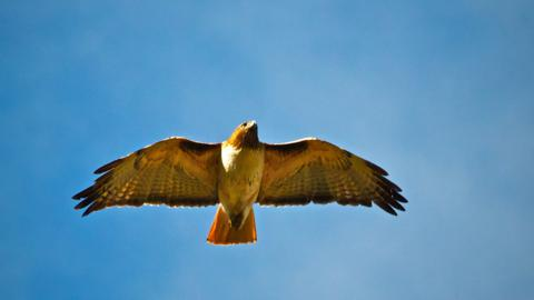 A Red-tailed Hawk Glides Over Us