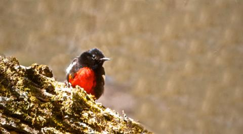 A Painted Redstart Rests on a Log