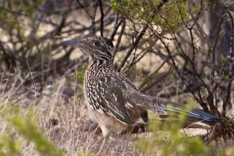 A Real Greater Roadrunner Chased by Me Instead of Wile E. Coyote