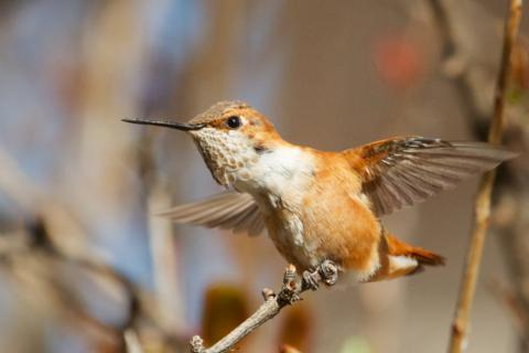 Here's a Better Shot of a Rufous Hummingbird than I Got Earlier on the Trip