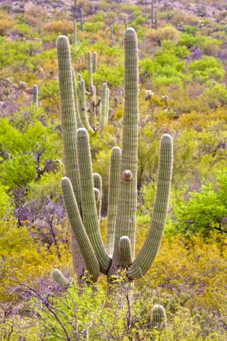 Abundant Saguaro in Saguaro National Park