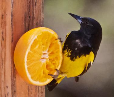 A Scott's Oriole Enjoys a Matching Orange
