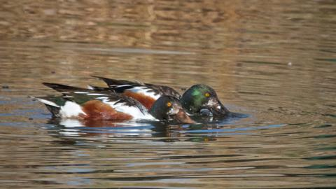 Two Male Northern Shovelers Work Side by Side