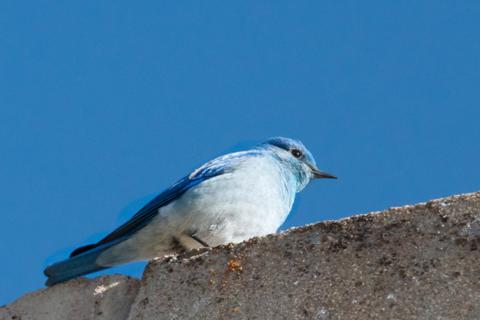 A Mountain Bluebird Male on the Silo