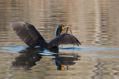 The Cormorant Takes Off