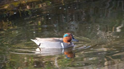 A Male Green-winged Teal
