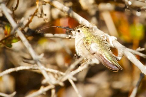 This Female Costa's Hummingbird Has a Long Tongue