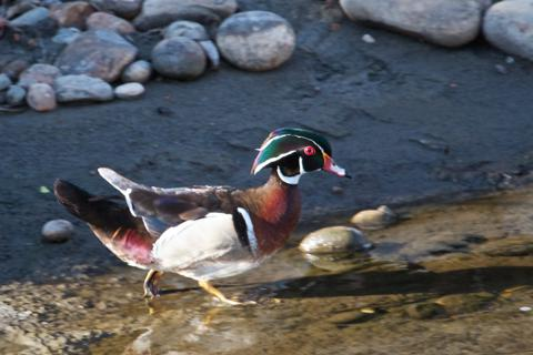 A Male Wood Duck Walks