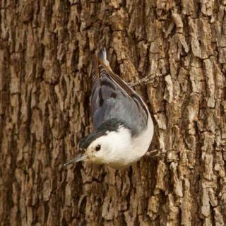 A White-breasted Nuthatch Looks for Food