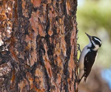 A Woodpecker Pecks on a Ponderosa Pine