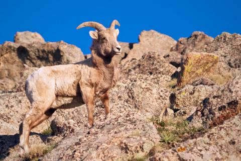 A Rocky Mountain Bighorn Sheep at First Light