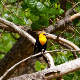 This Yellow-headed Blackbird Stands Out from the Green Leaves