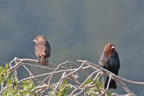 A Pair of Brown-headed Cowbirds Look Away