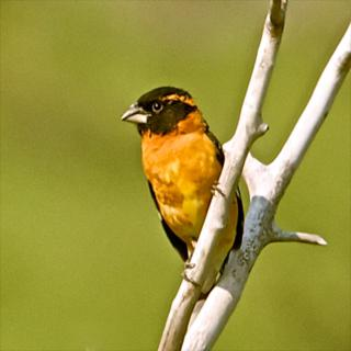 A Black-headed Grosbeak Sits