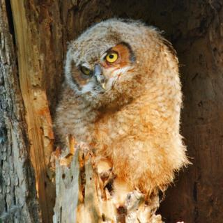 The Smaller Owlet Seems Happy to be Alone in the Nest