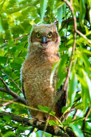 The Day After the Larger Owlet Fledged It Also Appears to Be Happy
