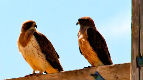 A Pair of Swainson's Hawks in Deep Conversation