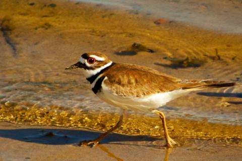 A Killdeer is a Shorebird