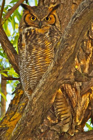Mama Great Horned Owl in Late Afternoon Light