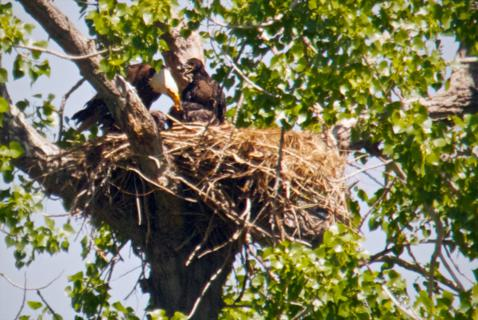 Mrs. Eagle and her Fledglings on their Big Nest