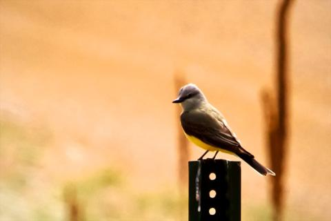 A Western Kingbird on its Throne