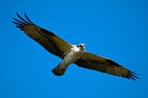 The Osprey Flies Over to Check Me Out