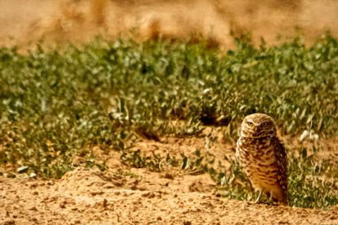 A Burrowing Owl Watches Us