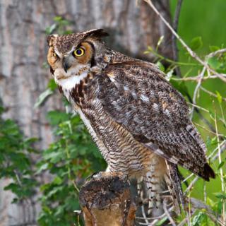 Papa Owl Looks Tough