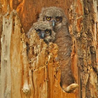 Fluffy Owlets and an Unlucky Rabbit's Foot