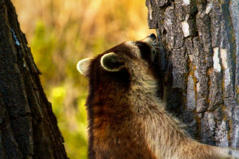 A Raccoon Climbs a Tree