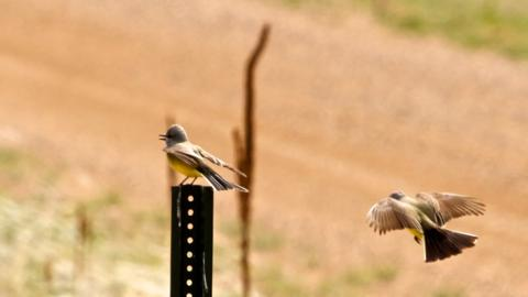 A Rival Western Kingbird Arrives