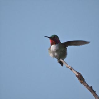A Ruby-throated Hummingbird Shows its Throat and a Wing