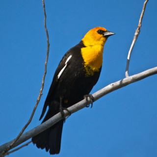 The Male Yellow-headed Blackbird Shows its Distinct White Wing Patch