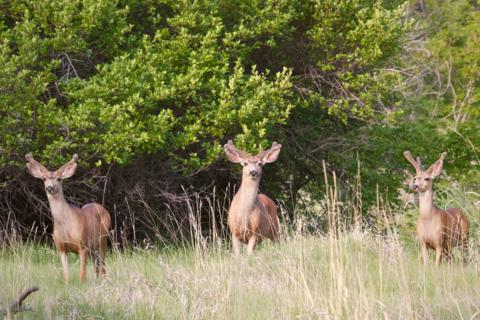 Three Young Bucks Study a Visitor