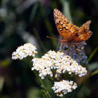 A Common Butterfly on Common Yarrow