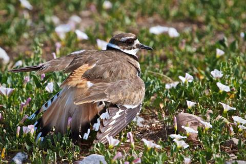 A Killdeer Put on a Broken-Wing Display to Draw My Attention from its Nest